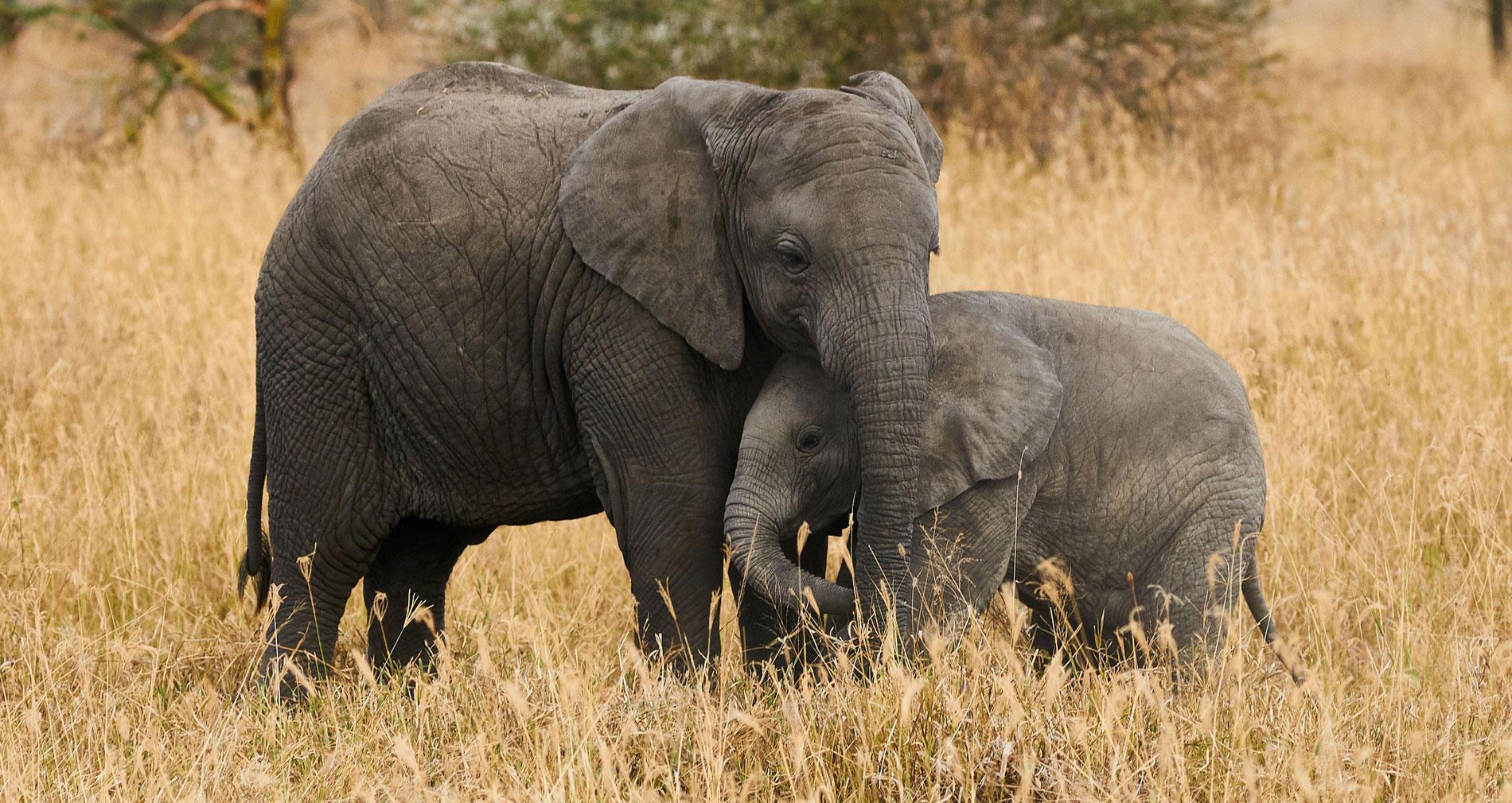 Olifanten knuffelen In Memoriam herinnering